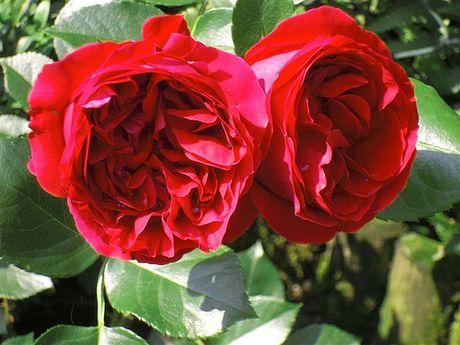 Ky thuat trong cay hoa hong leo Red Eden dep me man - Anh 2