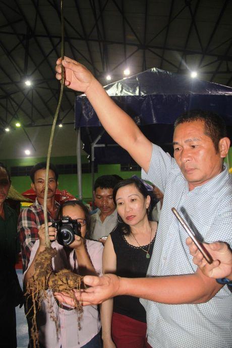 Ban duoc hon 4,5 ty dong tu phien cho sam Ngoc Linh dau tien o Quang Nam - Anh 3